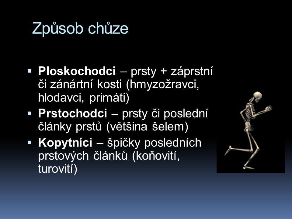 Způsob chůze Ploskochodci – prsty + záprstní či zánártní kosti (hmyzožravci, hlodavci, primáti)