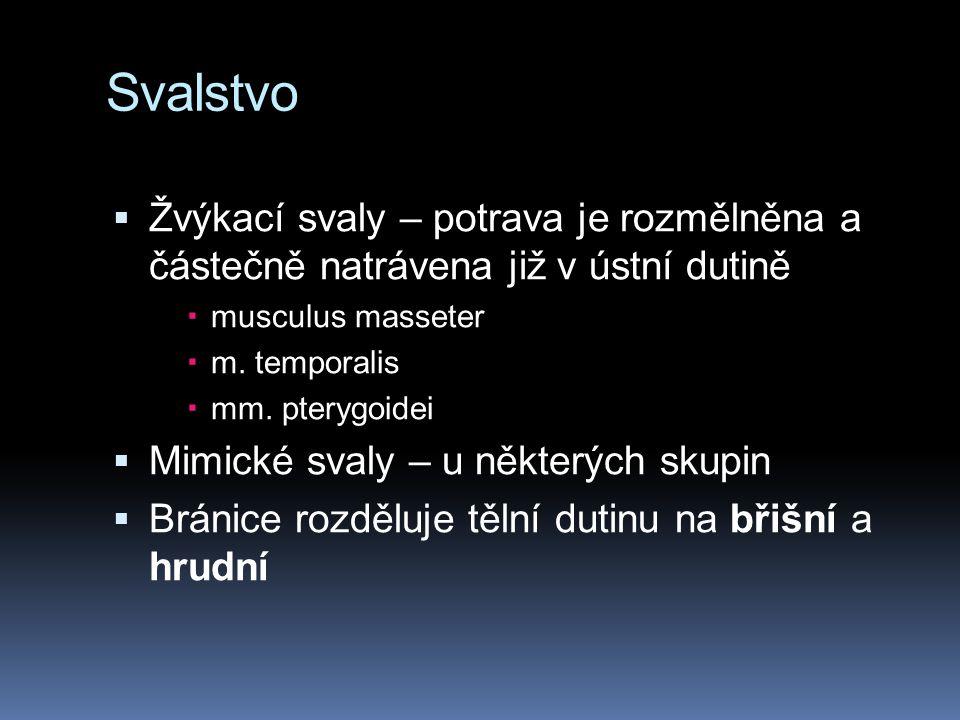Svalstvo Žvýkací svaly – potrava je rozmělněna a částečně natrávena již v ústní dutině. musculus masseter.