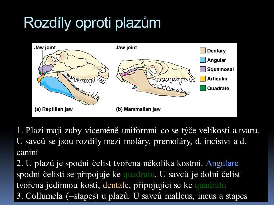 Rozdíly oproti plazům 1. Plazi mají zuby víceméně uniformní co se týče velikosti a tvaru.