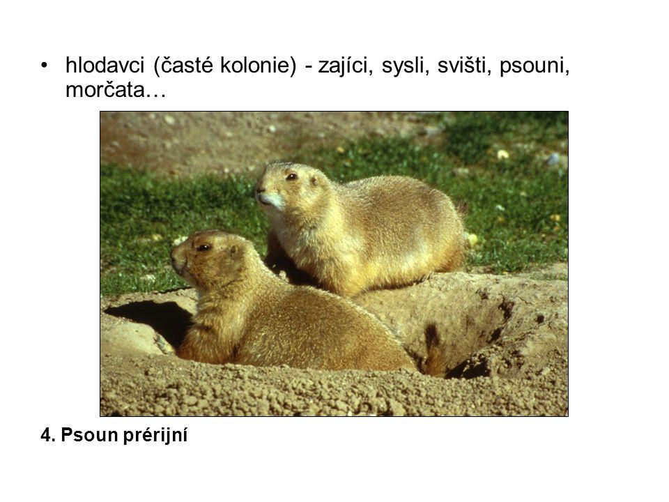 hlodavci (časté kolonie) - zajíci, sysli, svišti, psouni, morčata…