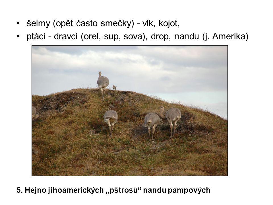 šelmy (opět často smečky) - vlk, kojot,