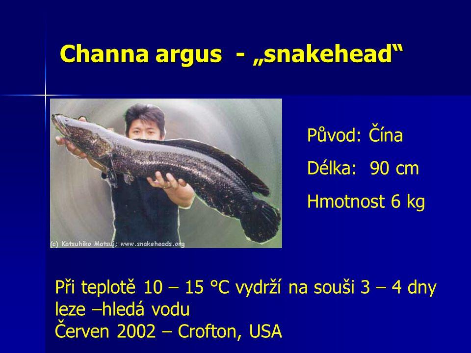 """Channa argus - """"snakehead"""