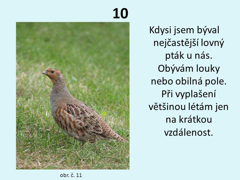 10 Kdysi jsem býval nejčastější lovný pták u nás. Obývám louky nebo obilná pole. Při vyplašení většinou létám jen na krátkou vzdálenost.