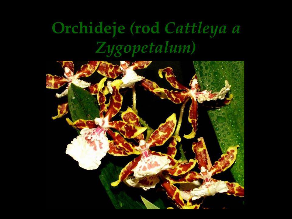 Orchideje (rod Cattleya a Zygopetalum)