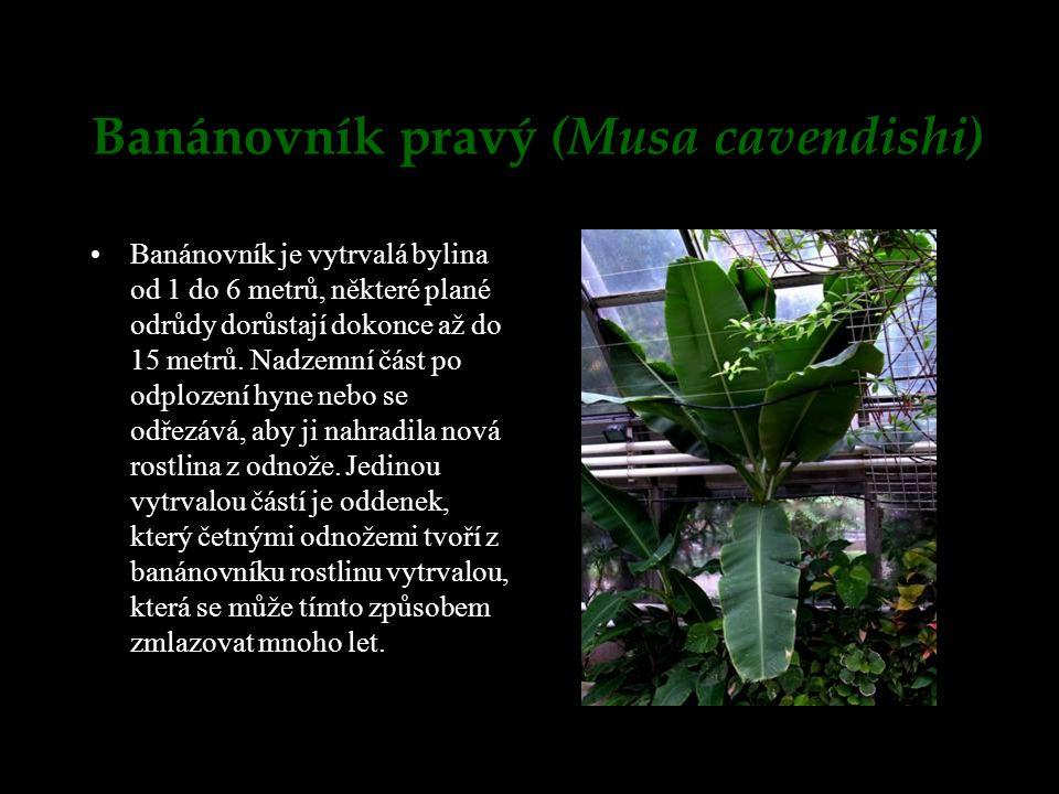 Banánovník pravý (Musa cavendishi)