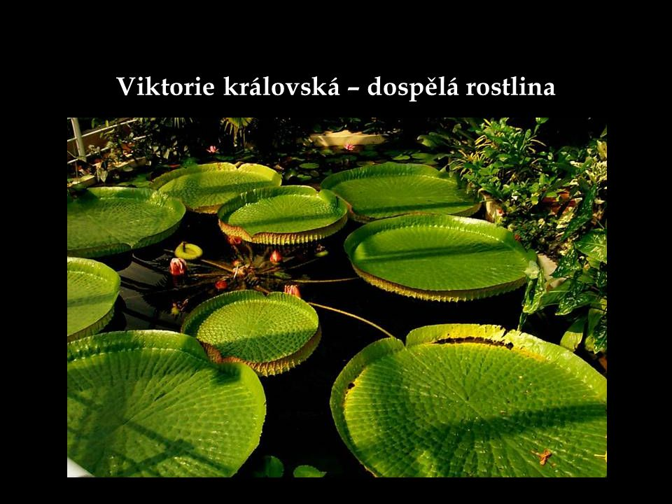 Viktorie královská – dospělá rostlina