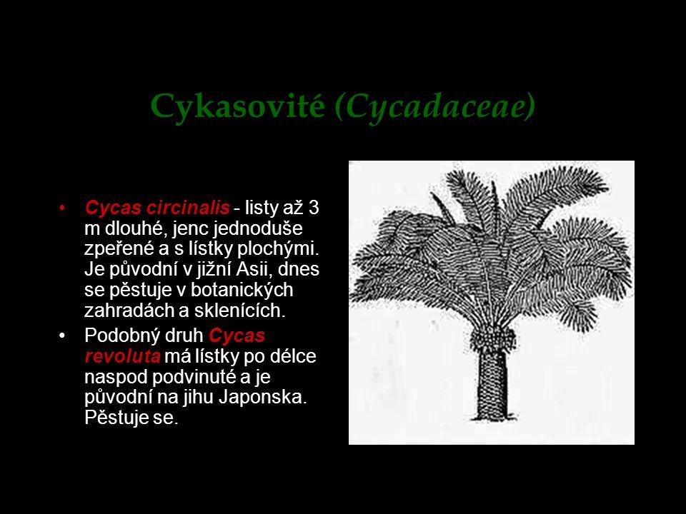 Cykasovité (Cycadaceae)