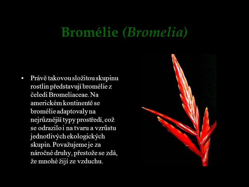 Bromélie (Bromelia)