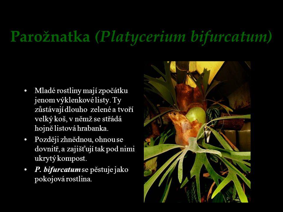 Parožnatka (Platycerium bifurcatum)