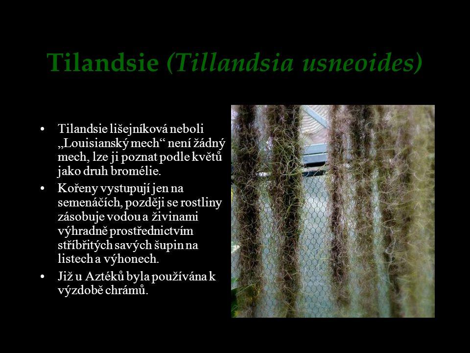 Tilandsie (Tillandsia usneoides)