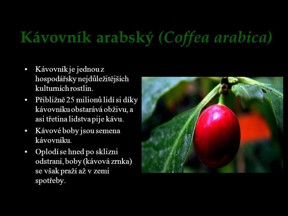 Kávovník arabský (Coffea arabica)