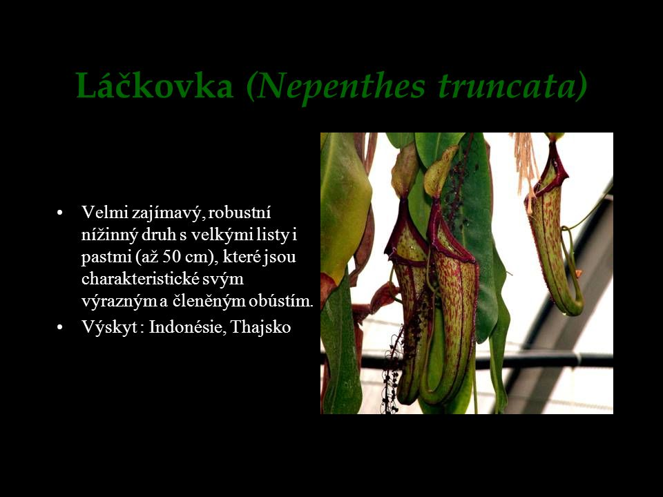 Láčkovka (Nepenthes truncata)
