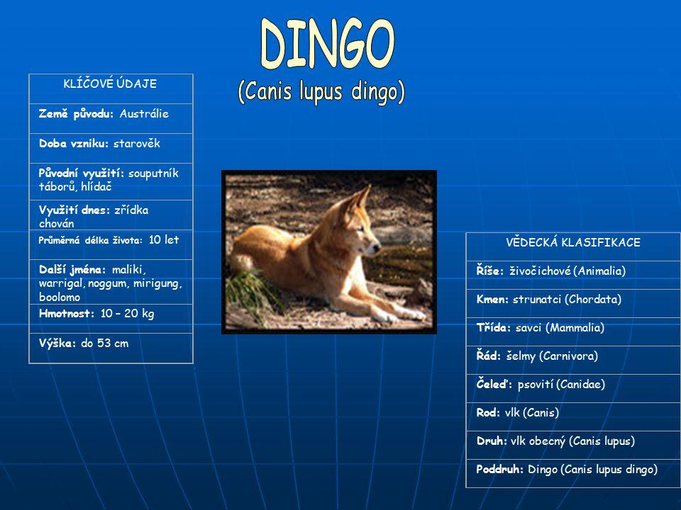 DINGO (Canis lupus dingo) KLÍČOVÉ ÚDAJE Země původu: Austrálie