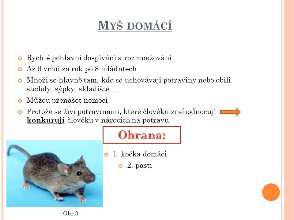 Myš domácí Obrana: Rychlé pohlavní dospívání a rozmnožování
