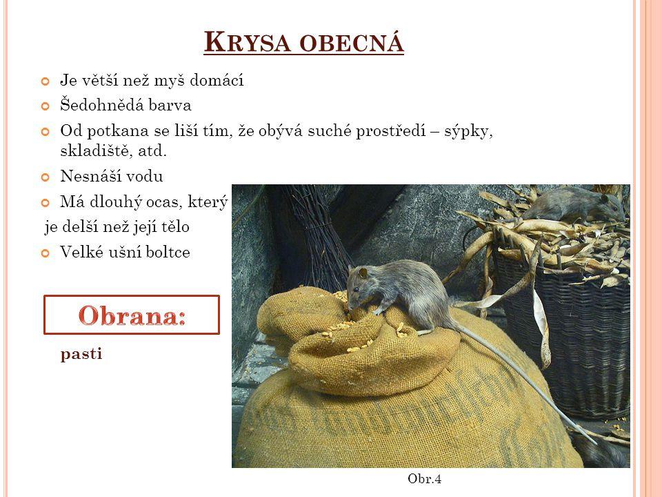 Krysa obecná Obrana: Je větší než myš domácí Šedohnědá barva