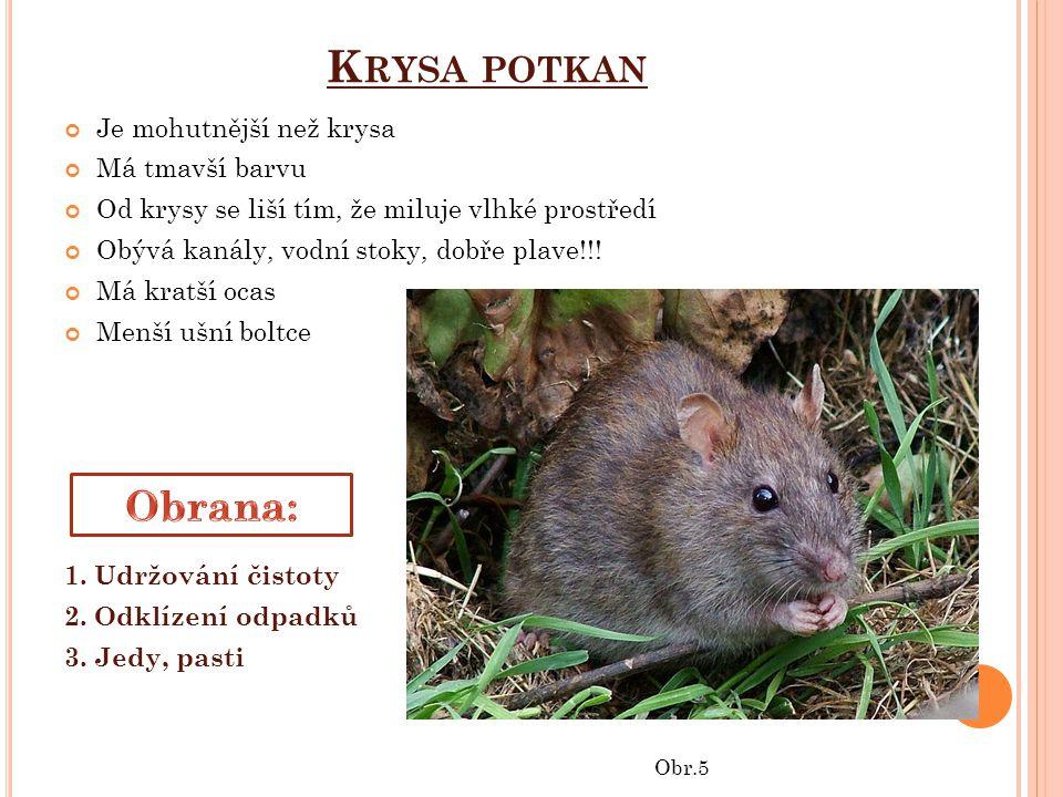 Krysa potkan Obrana: Je mohutnější než krysa Má tmavší barvu