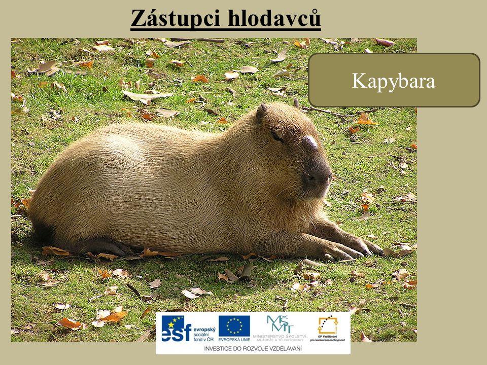 Zástupci hlodavců Kapybara