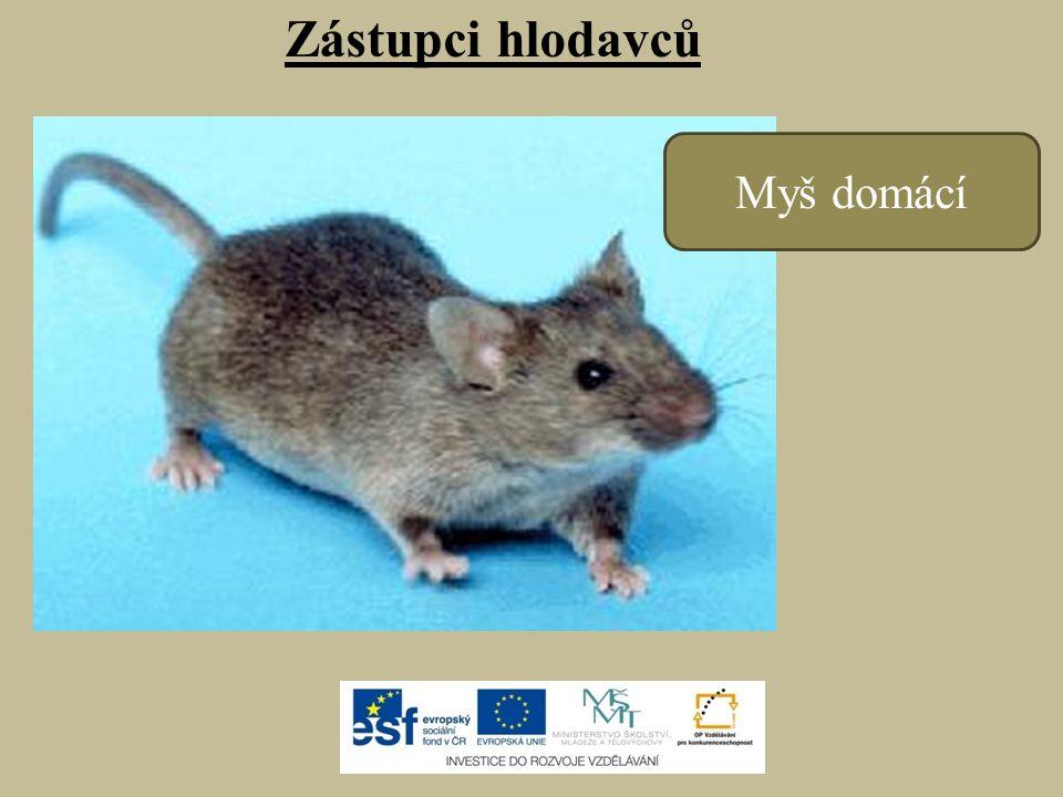 Zástupci hlodavců Myš domácí