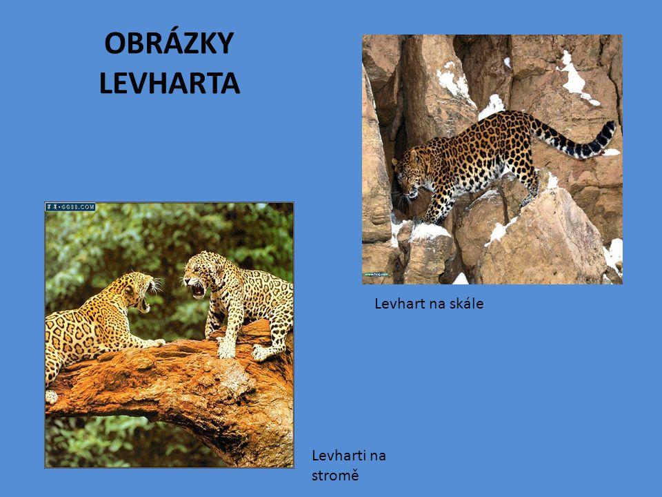 OBRÁZKY LEVHARTA Levhart na skále Levharti na stromě