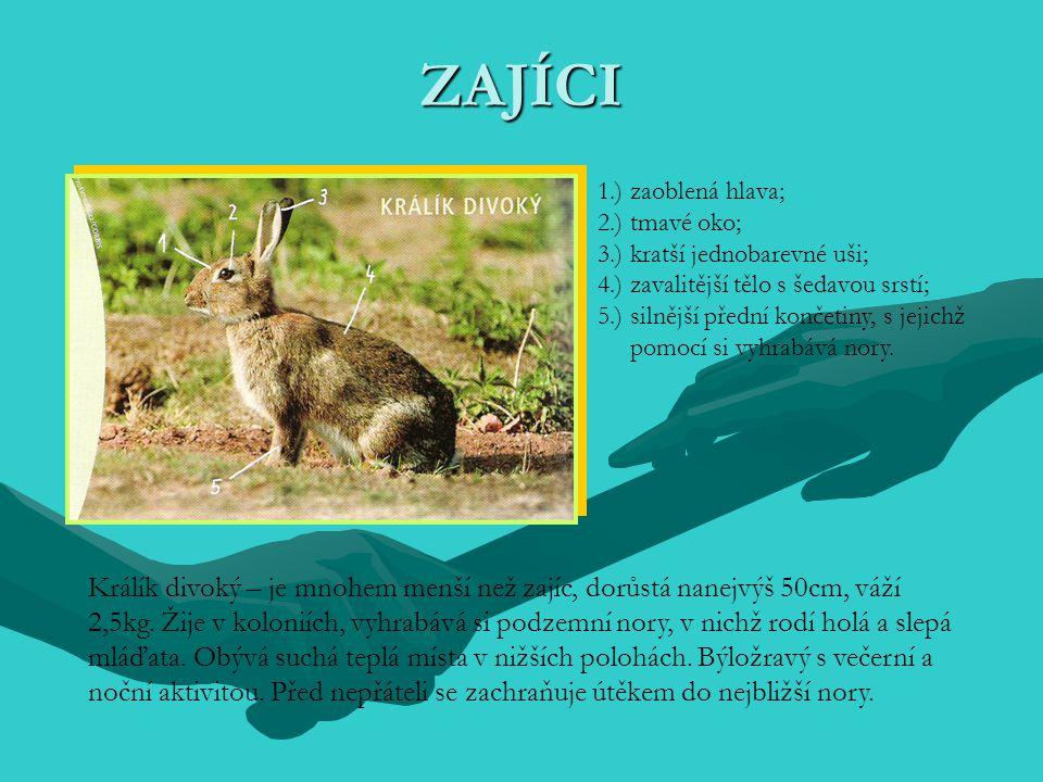 ZAJÍCI 1.) zaoblená hlava; 2.) tmavé oko; 3.) kratší jednobarevné uši; 4.) zavalitější tělo s šedavou srstí;