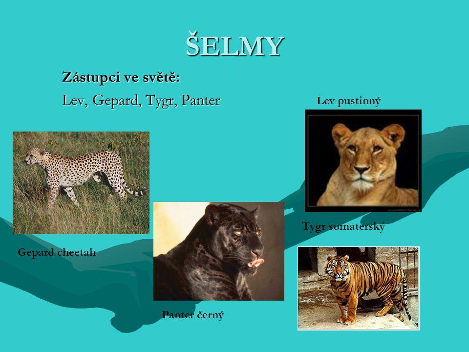 Zástupci ve světě: Lev, Gepard, Tygr, Panter