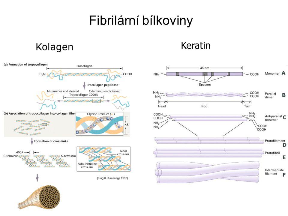 Fibrilární bílkoviny Kolagen Keratin
