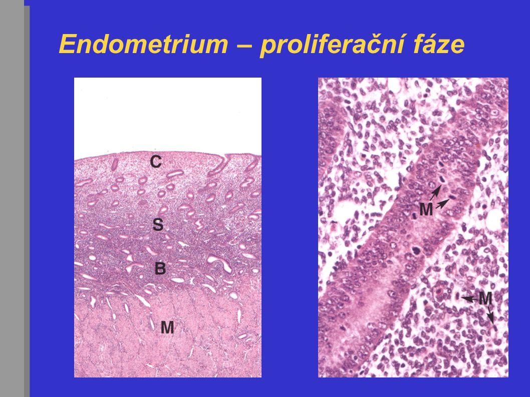 Endometrium – proliferační fáze