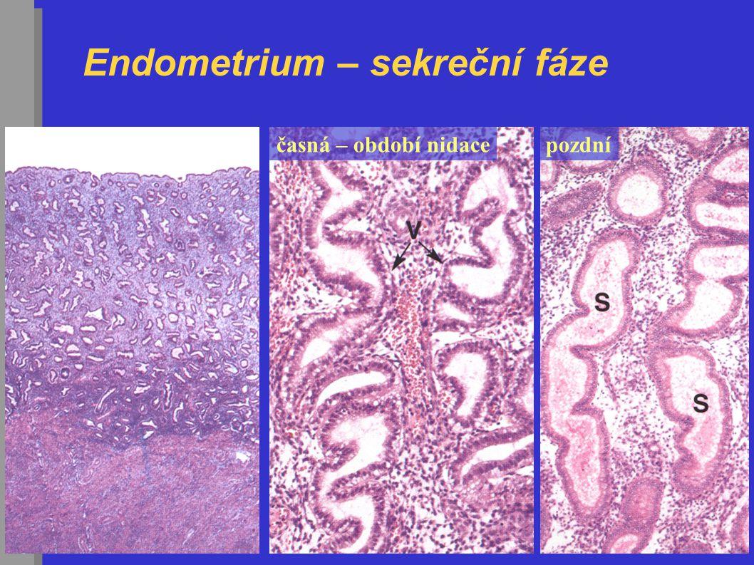 Endometrium – sekreční fáze