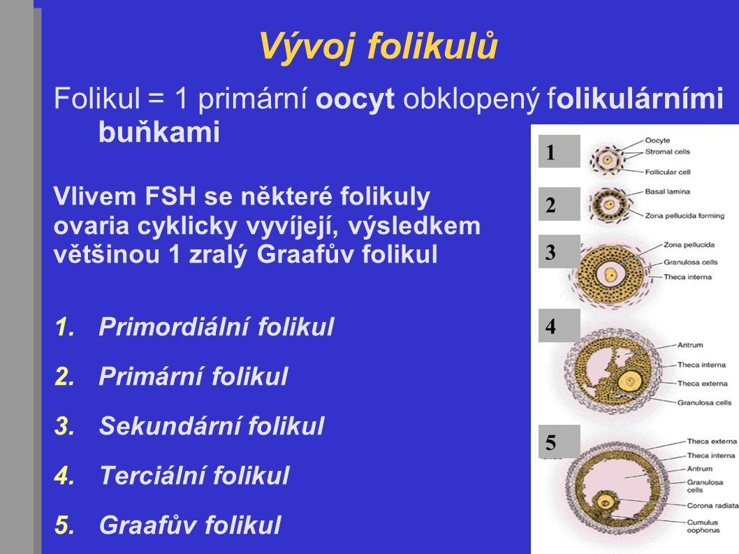 Vývoj folikulů Folikul = 1 primární oocyt obklopený folikulárními buňkami. Vlivem FSH se některé folikuly.