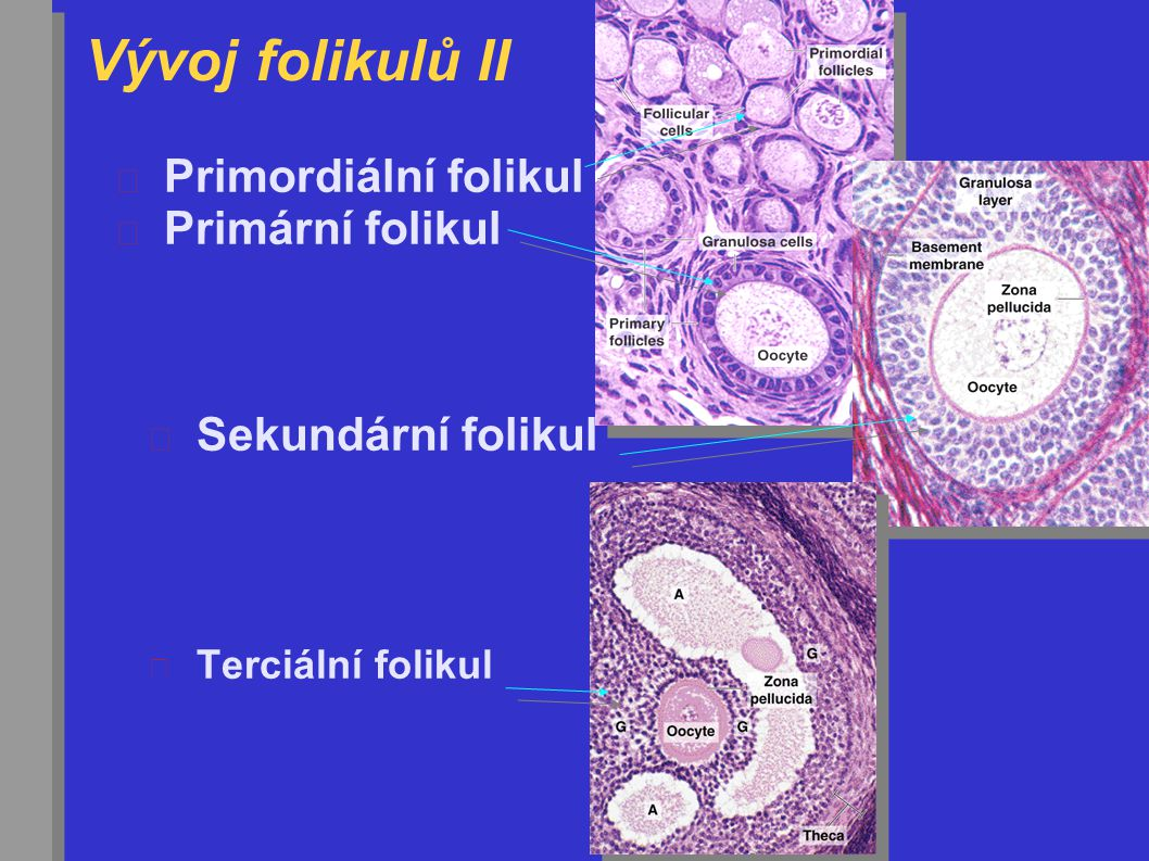 Vývoj folikulů II Primordiální folikul Primární folikul