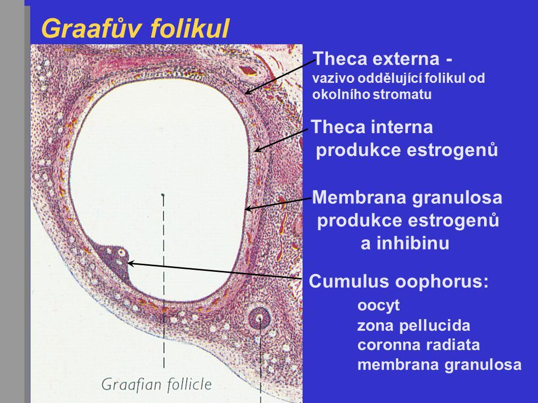 Graafův folikul Velikost = 1,5 cm