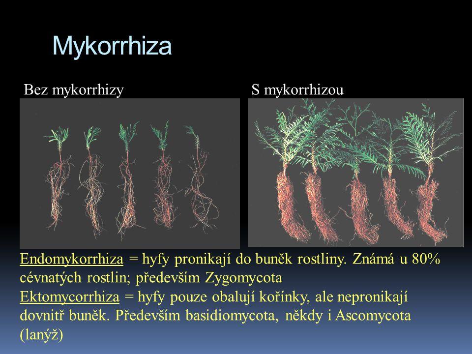 Mykorrhiza Bez mykorrhizy S mykorrhizou