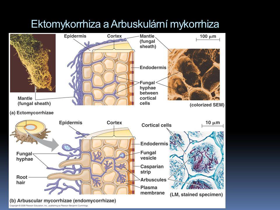 Ektomykorrhiza a Arbuskulární mykorrhiza