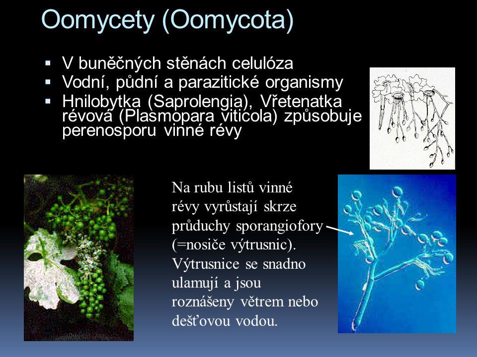 Oomycety (Oomycota) V buněčných stěnách celulóza