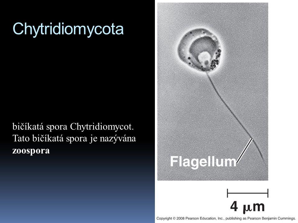 Chytridiomycota bičíkatá spora Chytridiomycot.