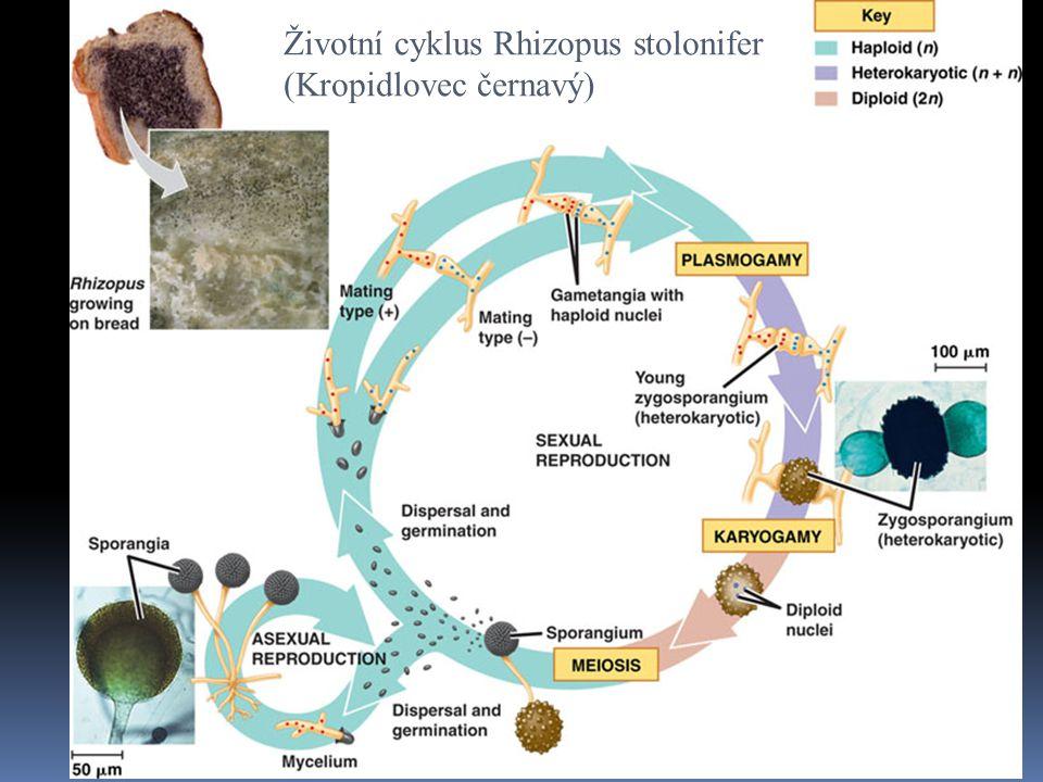 Životní cyklus Rhizopus stolonifer