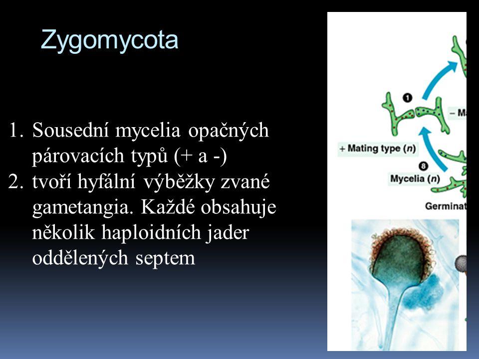 Zygomycota Sousední mycelia opačných párovacích typů (+ a -)