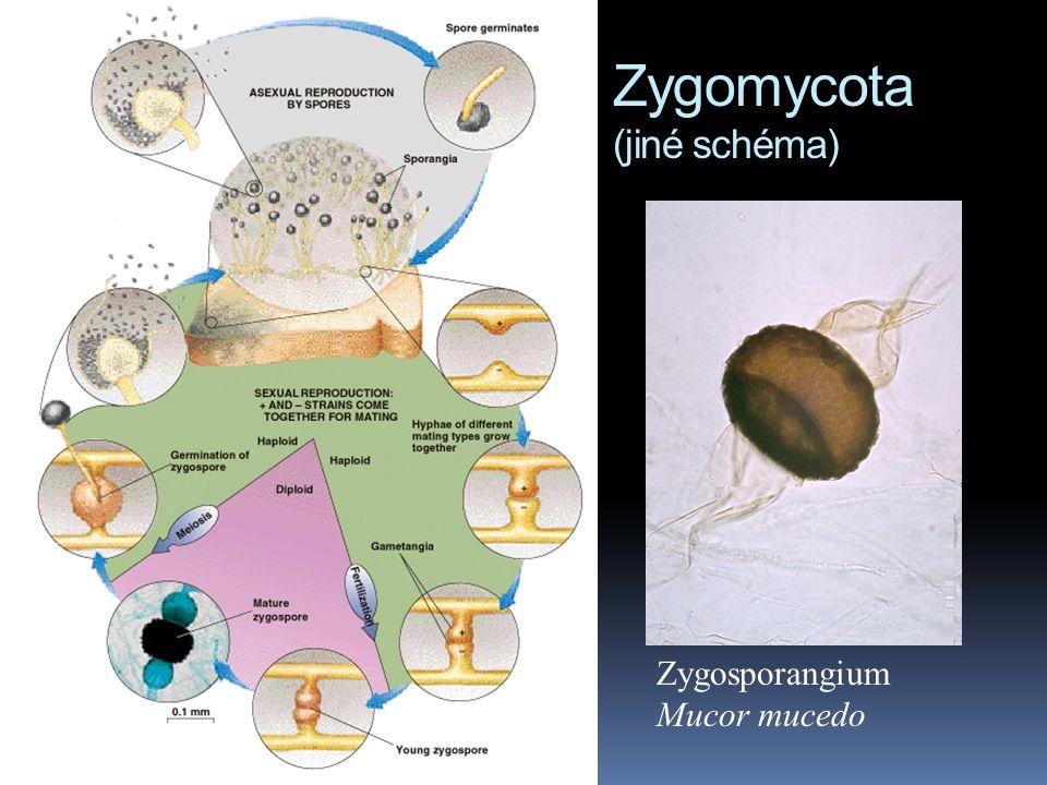 Zygomycota (jiné schéma)
