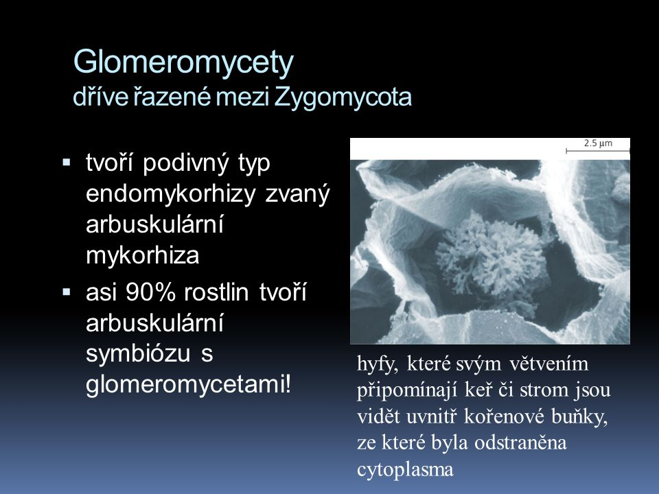 Glomeromycety dříve řazené mezi Zygomycota
