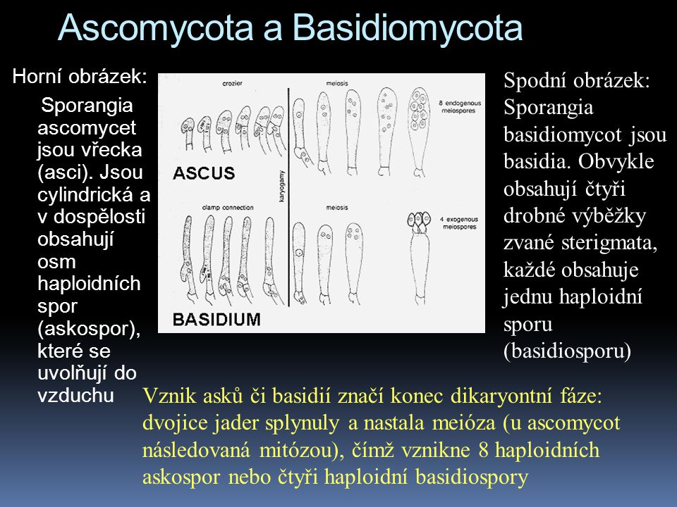 Ascomycota a Basidiomycota