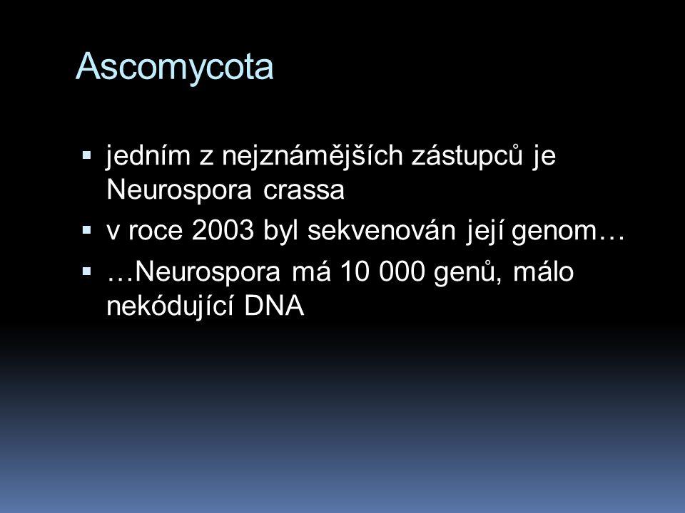 Ascomycota jedním z nejznámějších zástupců je Neurospora crassa