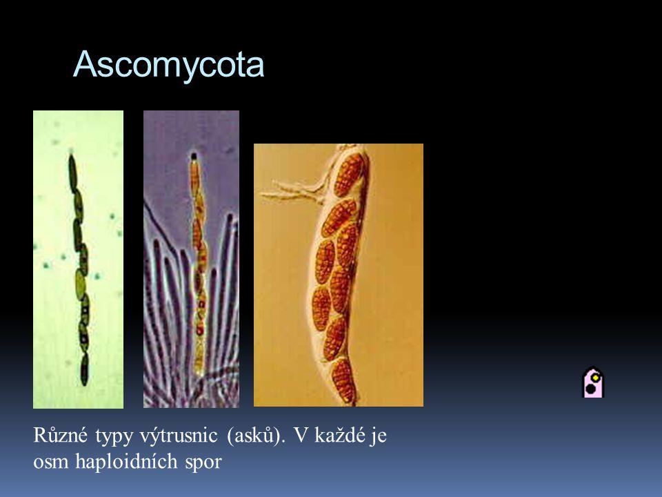 Ascomycota Různé typy výtrusnic (asků). V každé je osm haploidních spor