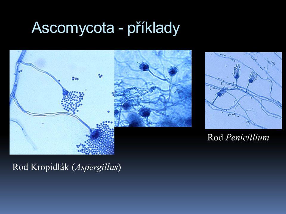 Ascomycota - příklady Rod Penicillium Rod Kropidlák (Aspergillus)