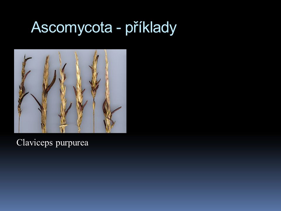 Ascomycota - příklady Claviceps purpurea