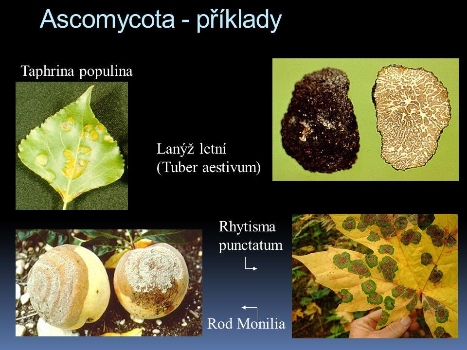 Ascomycota - příklady Taphrina populina Lanýž letní (Tuber aestivum)