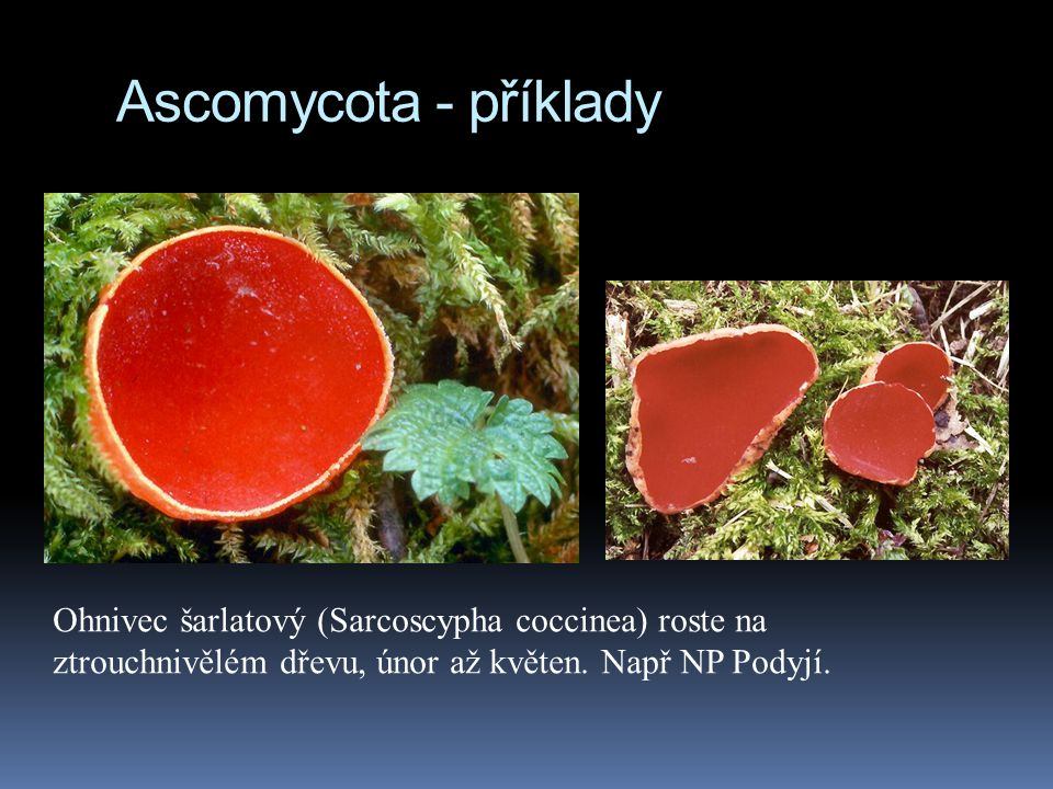 Ascomycota - příklady Ohnivec šarlatový (Sarcoscypha coccinea) roste na ztrouchnivělém dřevu, únor až květen.