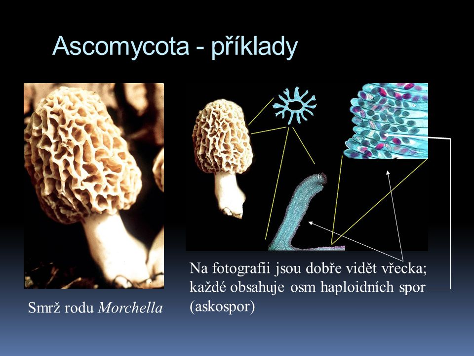 Ascomycota - příklady Na fotografii jsou dobře vidět vřecka; každé obsahuje osm haploidních spor (askospor)