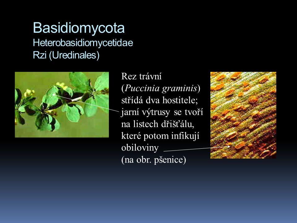 Basidiomycota Heterobasidiomycetidae Rzi (Uredinales)