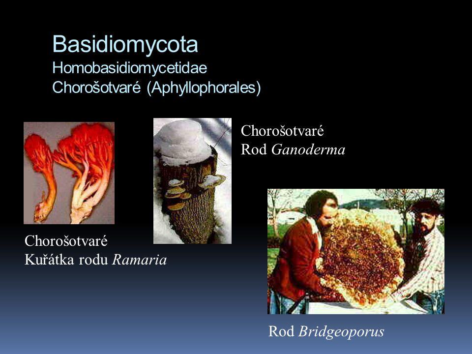 Basidiomycota Homobasidiomycetidae Chorošotvaré (Aphyllophorales)