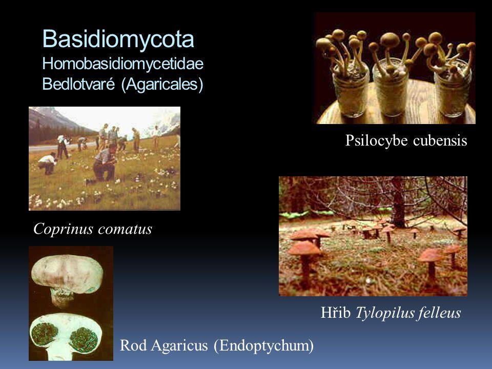 Basidiomycota Homobasidiomycetidae Bedlotvaré (Agaricales)
